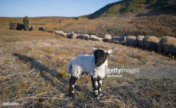 A new born lamb stands in early morning sun as the Yorkshire shepherdess Amanda Owen feeds the remaining flock on April 15 2014 near Kirkby Stephen...