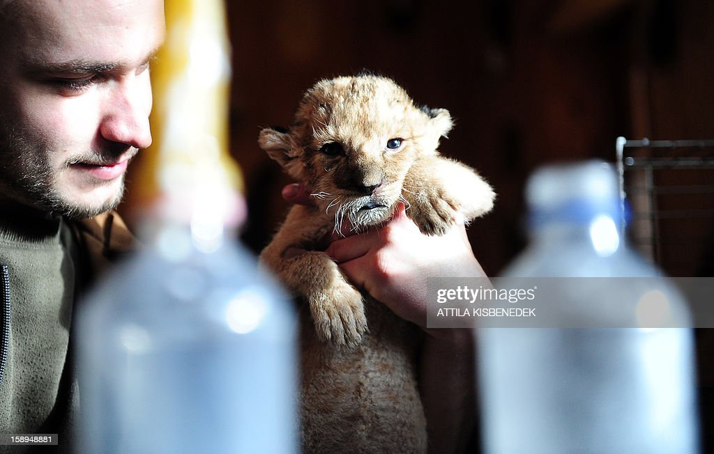 A new born lion baby is hold by a zoo keeper in the 'Szorako-Zoo' of Gyongyos, Hungary, on January 4, 2013. Three lion babies were born three weeks ago in December and will be shown to the public after their first vaccination, in middle of January.