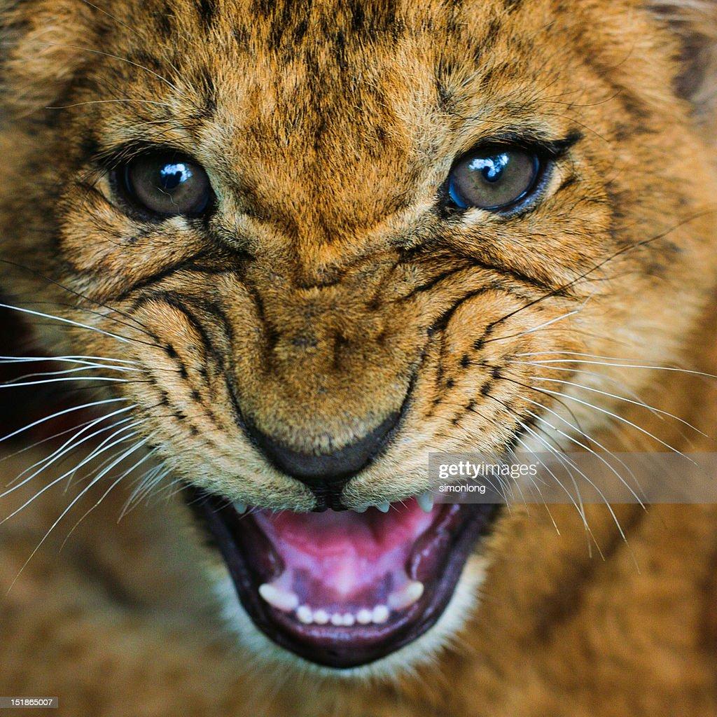 New born lion : Stock Photo