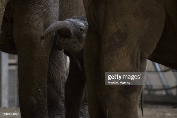 A new born male Asiatic elephant Arun is seen at its enclosure at Budapest Zoo Budapest Hungary on the December 12 2017 On November 08 2017 the male...