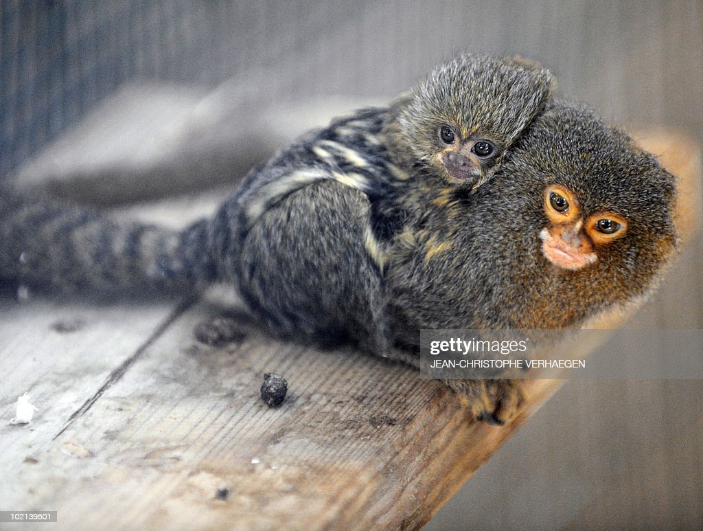 A new born marmoset monkey (Platyrrhini) is carried by his father at the Amneville zoo, eastern France, on June 04, 2010.