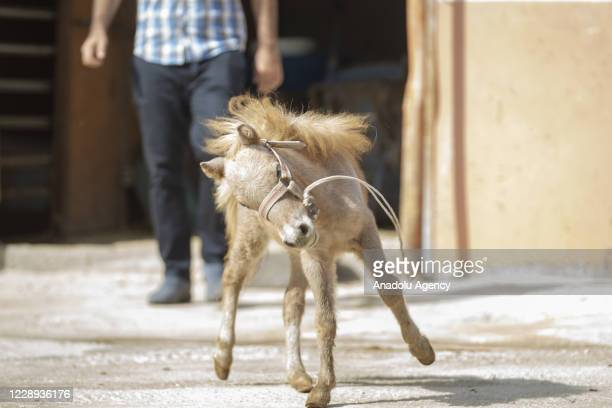 New born pony foal is implanted with a microchip within a regulation for odd-toed animals by ministry of agriculture and forestry in Ayanoglu...