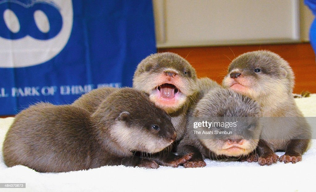 New born quadruplet oriental small-clawed otters are open to media at Tobe Zoological Park on April 11, 2014 in Tobe, Ehime, Japan. The otters, born on March 7, will be open to public from April 20.