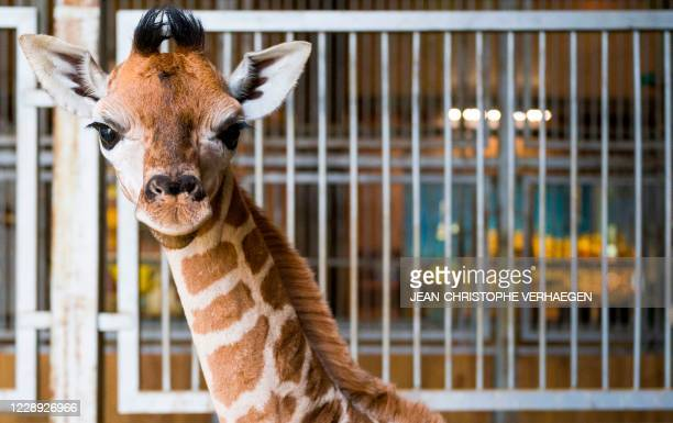 New born Rothschild's giraffe walks in its enclosure at the zoological park of Amneville, eastern France, on October 6, 2020. - She's a female, she...