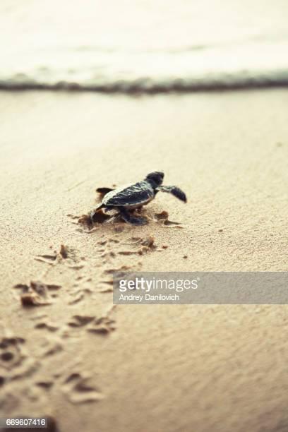 Neu geboren Meeresschildkröte