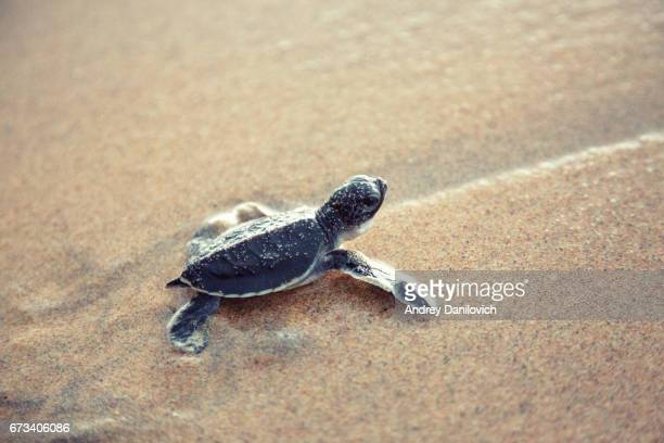 New born sea turtle