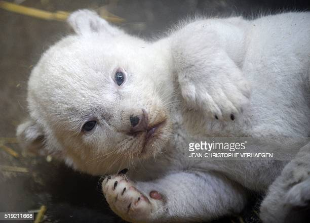 A new born white lion cub is pictured at the zoological park of the eastern French city of Amneville on April 5 2016 VERHAEGEN