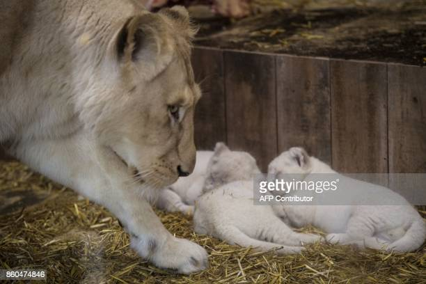New born white lion cubs are pictured with their mother at the zoological park of the eastern French city of Amneville on October 12 2017 / AFP PHOTO...