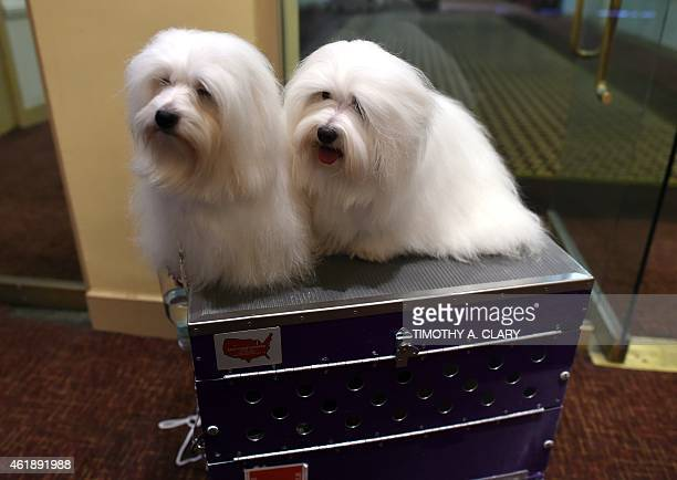 New breed Cotons de Tulear 'Chanel' and 'Burberry' are shown at the 139th Annual Westminster Kennel Club Dog Show press conference on January 21 to...