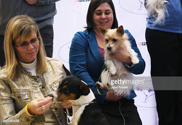 New breeds of dogs including Pirata a Portuguese Podengo Pequeno are displayed by their owners ahead of the 138th Westminster Kennel Club Dog Show on...
