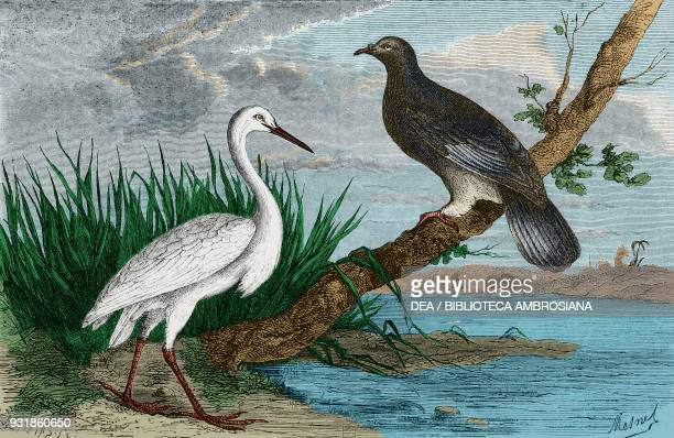 New Caledonian imperialpigeon and heron drawing by Mesnel from Journey to New Caledonia by the French engineer Jules Garnier 18631866 French overseas...