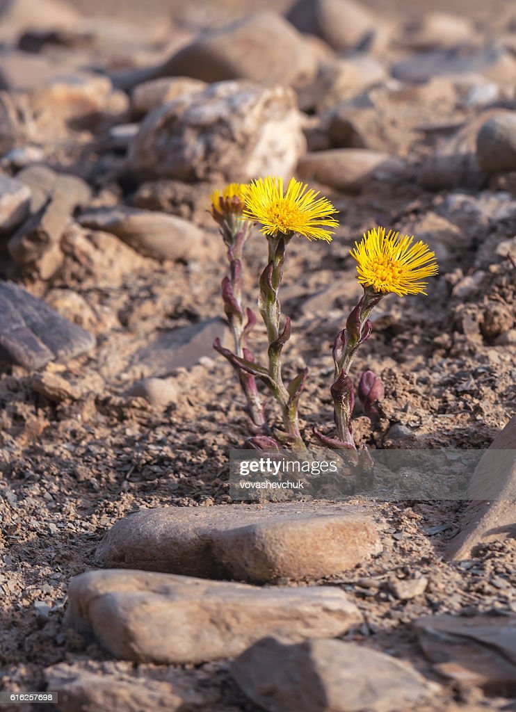 new coltsfoot flower : Foto de stock
