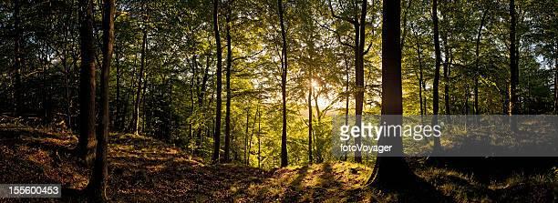 Neuen Tag dawns in goldenen Wald Wildnis