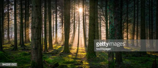 New day dawns in idyllic forest golden light woodland panorama
