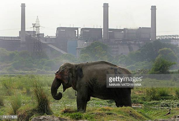 An Indian elephant grazes on the banks of the Yamuna River in New Delhi, 10 May 2007. Dozens of elephants in India's capital need a new home after...