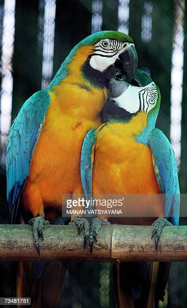 Blueandyellow Macaw birds lock their beaks in a cage at the Zoological park in New Delhi 03 March 2007 The National Zoological Park was established...