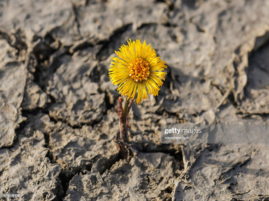 new flower on cracked soil : Stock-Foto