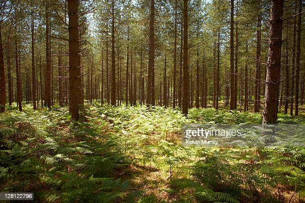 new forest 11 - pine woodland stock pictures, royalty-free photos & images