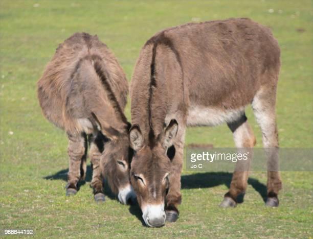 new forest donkeys - jo wilder stock-fotos und bilder