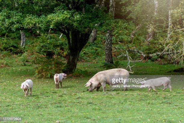 new forest pigs turned out to eat the acorns during the pannage season, hampshire, england - snout stock pictures, royalty-free photos & images