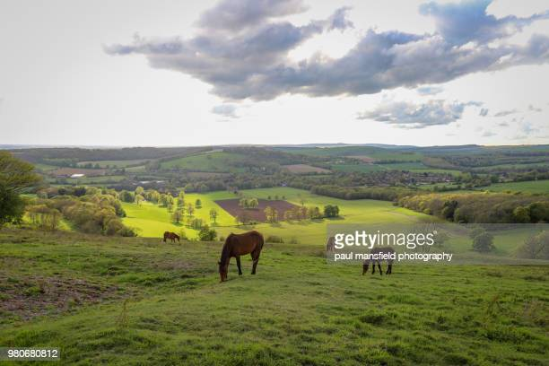 New Forest ponies at Cissbury Ring