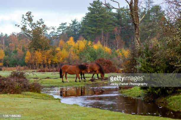 new forest ponies grazing in the autumn sunshine in the new forest national park, hampshire, england - animal stock pictures, royalty-free photos & images