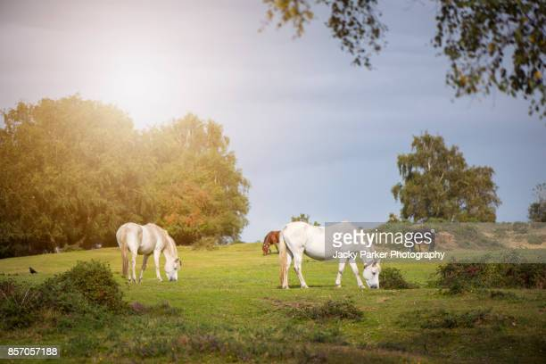 New Forest Ponies grazing in the summer sunshine
