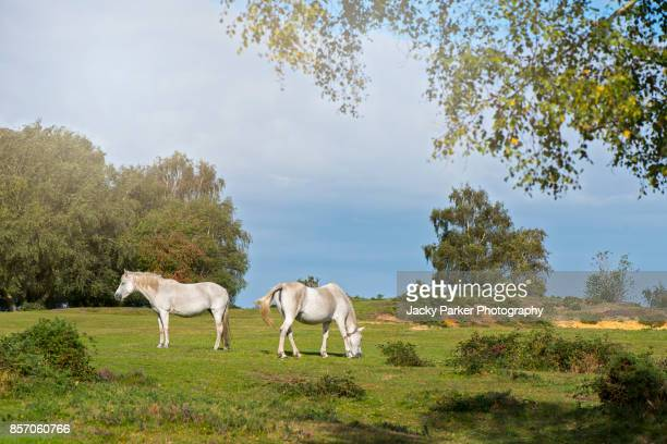 new forest ponies grazing in the summer sunshine - lymington stock photos and pictures