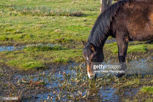 new forest ponies grazing on the beautiful coastal marshes and lagoons of the lymington and keyhaven nature reserve on the edge of the solent overlooking the isle of wight - keyhaven stock photos and pictures
