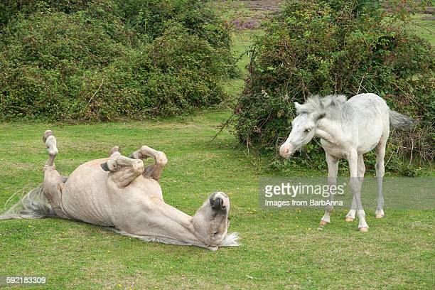 New Forest Ponies - Humor