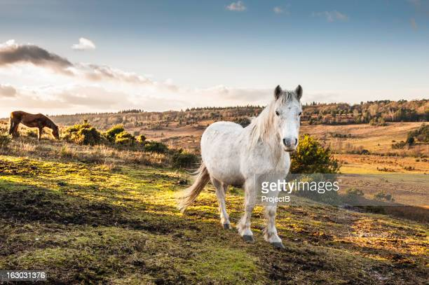 new forest ponies roaming wild - pony stock pictures, royalty-free photos & images
