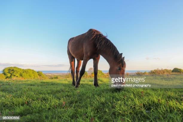 new forest pony at cissbury ring - 草を食む ストックフォトと画像
