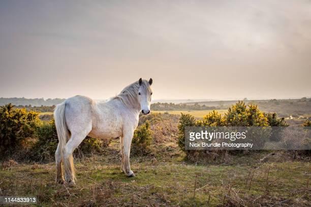new forest pony, brockenhurst, hampshire, uk. - pony stock pictures, royalty-free photos & images