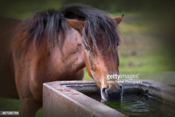 new forest pony drinking from a water trough - lymington stock photos and pictures