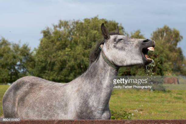new forest pony making a face after drinking from a stone water trough near lyndhurst, new forest, hampshire, uk - lymington stock photos and pictures