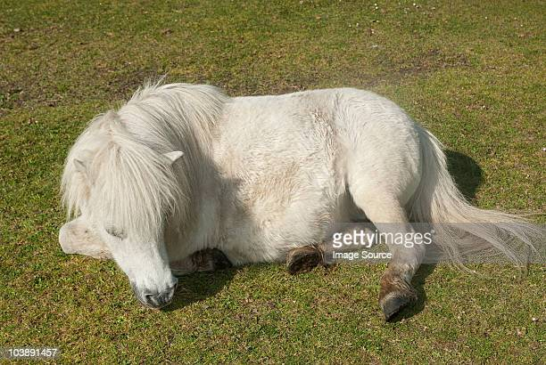 New forest pony resting in field