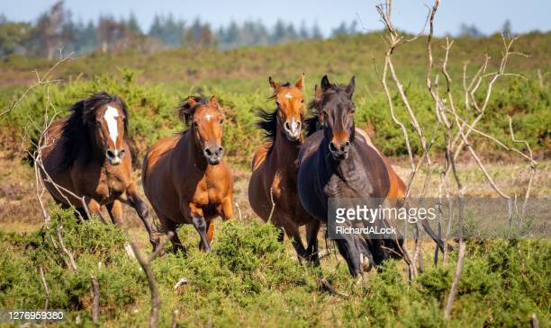 new forest pony series - wildlife reserve stock pictures, royalty-free photos & images