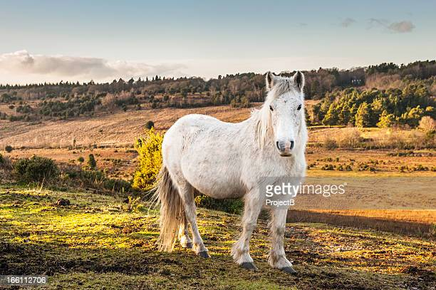 new forest wild pony - pony stock pictures, royalty-free photos & images
