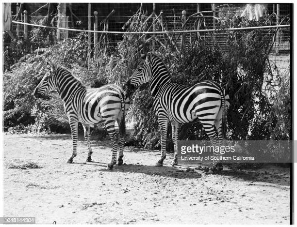 New Giant Zebras at Griffith Park Zoo Acquired from Hearst Ranch at San Simeon 29 October 1951 'Dan' 2'Ann' 2 1/2