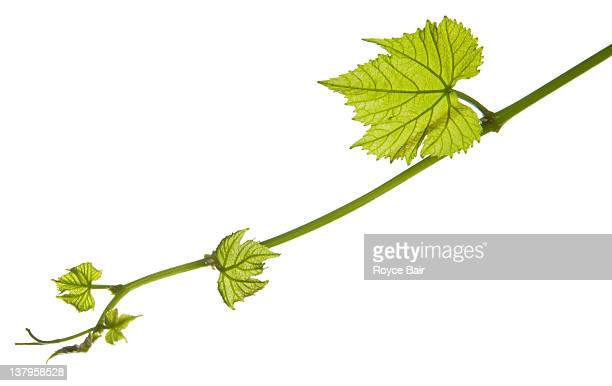 New grape vine leaf growth