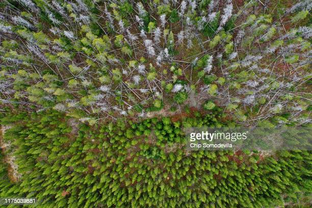 New green trees grow in an area recently logged as older dead lodgepole pine that have been killed by the mountain pine beetle and its symbiotic blue...