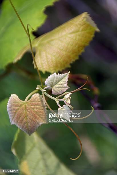 新しい成長グレープバイン小枝を飾ります。