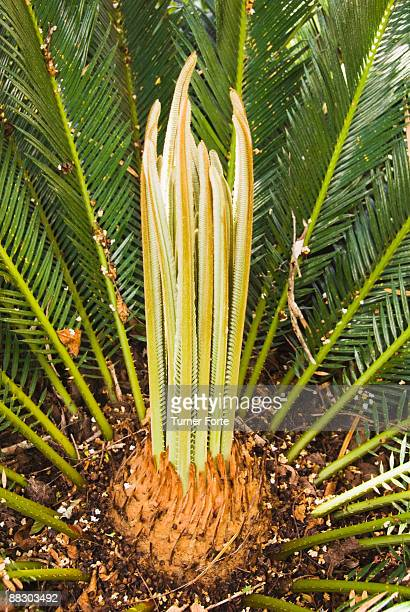 New growth in center of palm tree