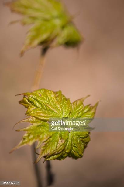 New Growth of a Maple Tree