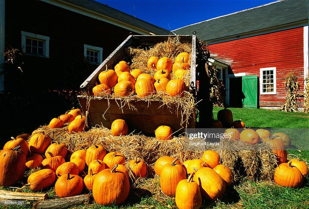 USA, New Hampshire, pumpkin harvest outside farm : Stock Photo