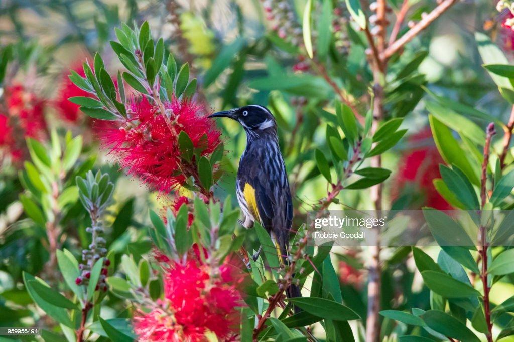 New Holland Honeyeater Bird Perching On Flowering Plant : Stock-Foto