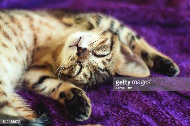 new kitten - bengal cat stock pictures, royalty-free photos & images