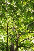 new leaf teak tree