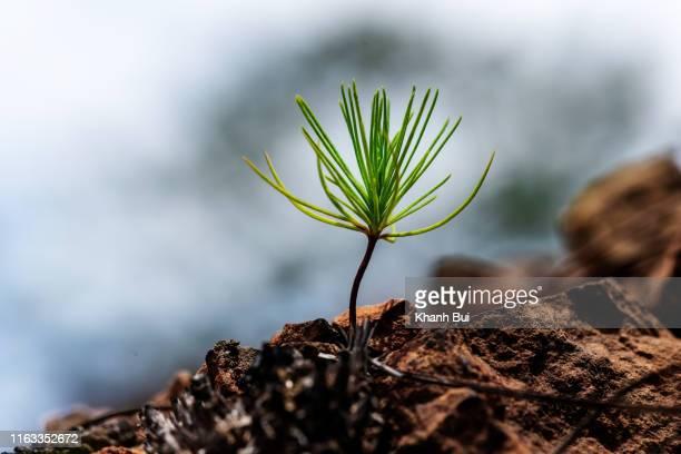 new life of the germ pine tree very beauty and vitality, photo by macro photography - vida imagens e fotografias de stock