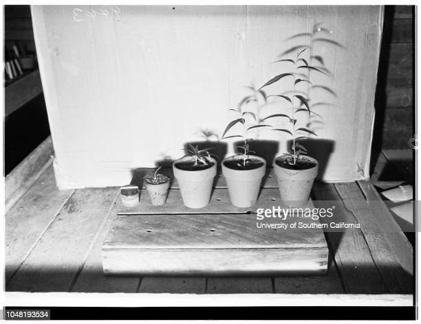 New Luther Burbank horticulturist with specimens of plants flowers trees etc 04 December 1951 Herbert Swim in laboratory at microscope with...